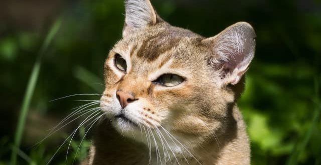 Азиатская табби.Фотографии, видео породы кошек Азиатская табби. Характер,Размер,Вес,Здоровье