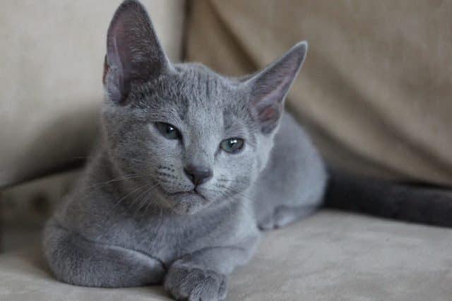 котенок породы русской голубой