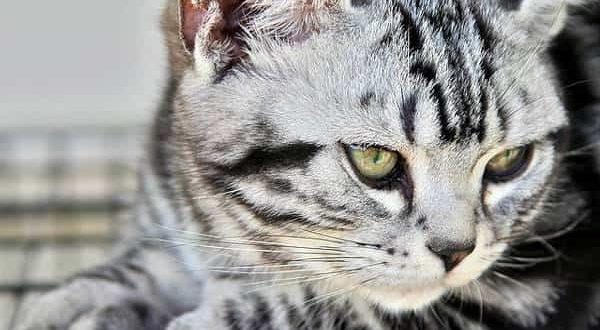 Американская короткошерстная кошка описание породы и характера