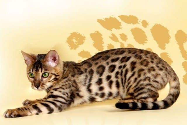 бенгальский котенок играет