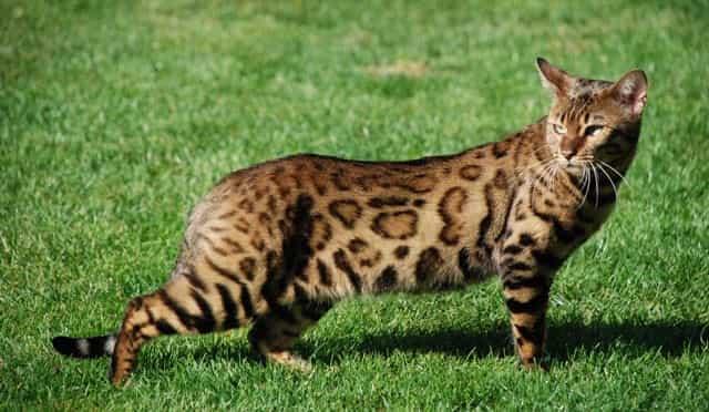 Бенгальский кот вес взрослого кота