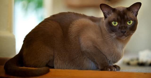 Бурманская кошка (бурма): фото, описание породы и характера, цена
