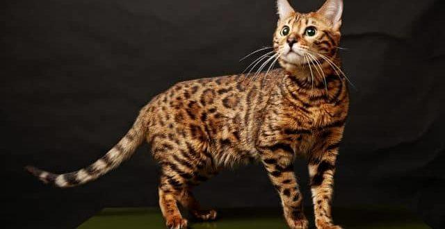 Порода бенгальская кошка характер
