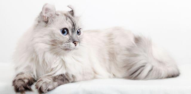 Американский керл описание породы и характера кошек