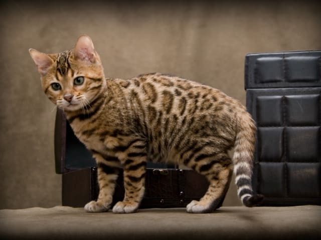 фото бенгальской кошки