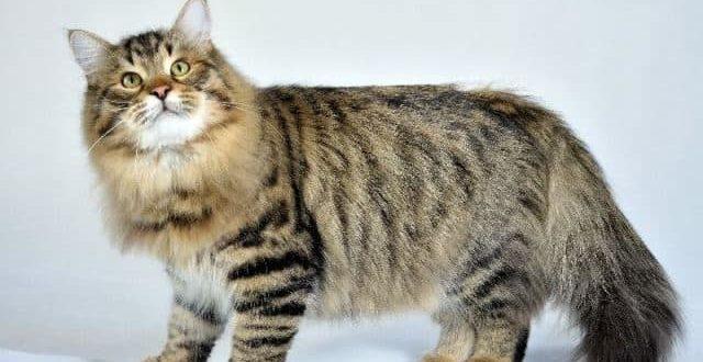 Сибирская кошка характеристика породы