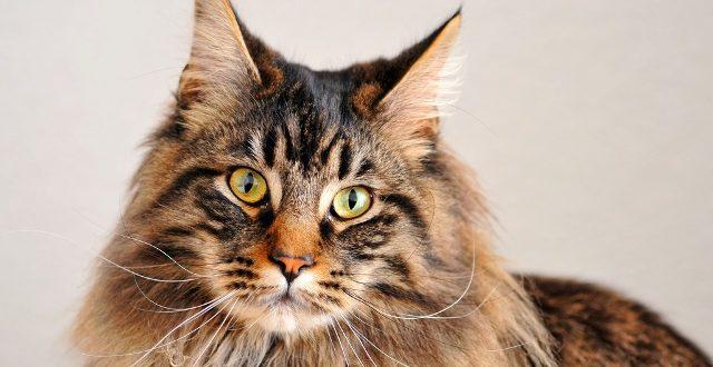Кошки породы мейн кун происхождение