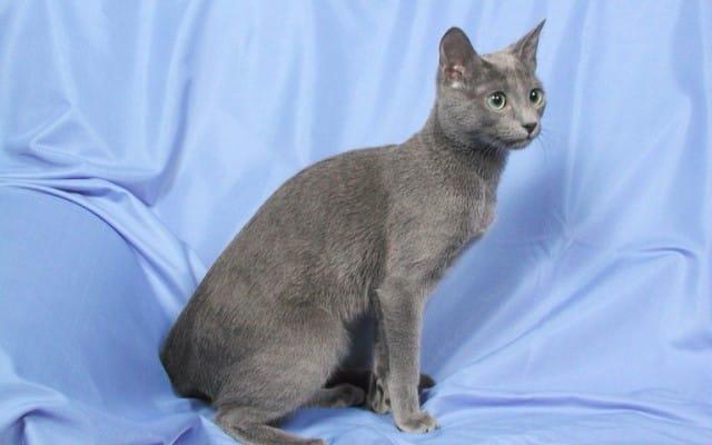 русская голубая кошка характер
