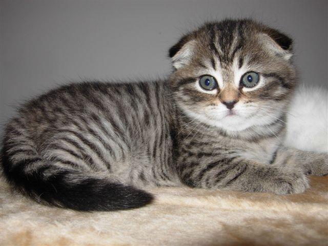 маленький котенок шотландской вислоухой породы