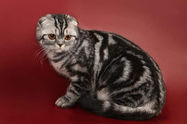 Видео порода кошек вислоухие thumbnail