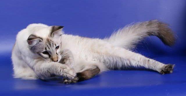 Балинезийская балинезы порода кошек