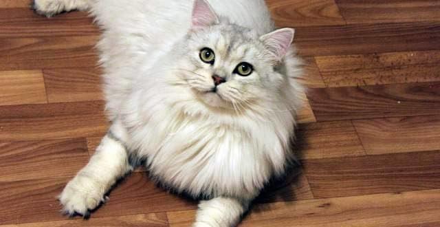 Британский длинношерстный кот - окрасы, характер, история