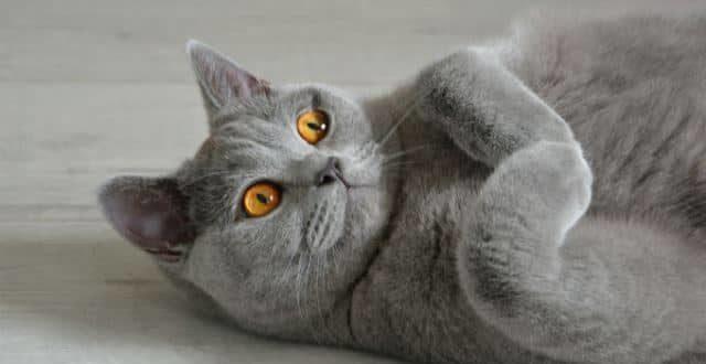 Все о британской породе кошек