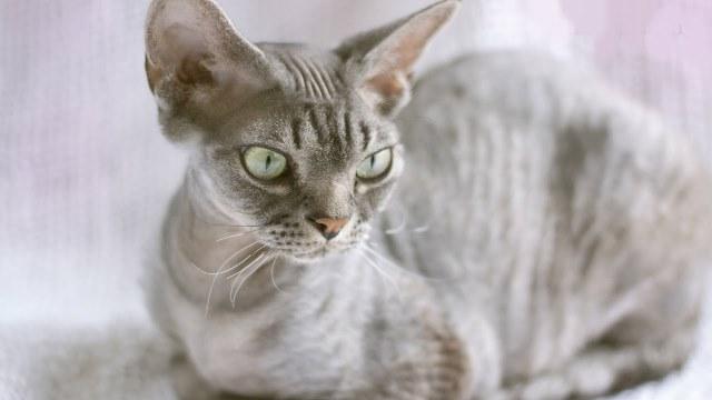 фото породы кошек девон рекс