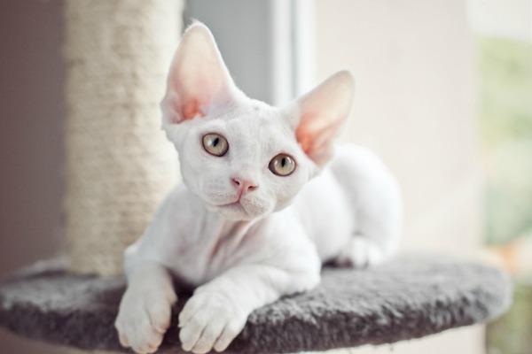 красивая белая кошка devon rex