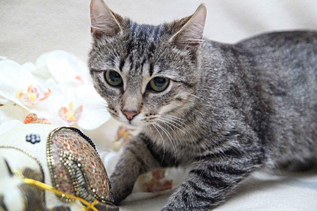 котенок кельтской кошки