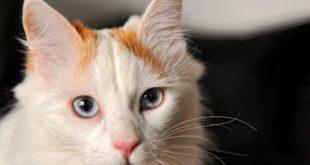 фото кота турецкий ван
