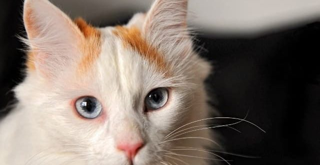 Турецкий ван кошка: фото, описание породы, характер, цены