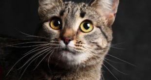 фото кошки кальфорнийской