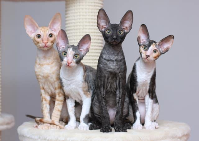 коты корниш рекса четырех окрасов