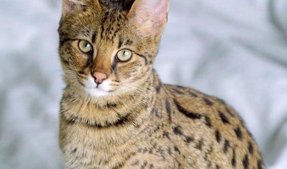 Сколько живут кошки ашера