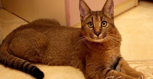 Кошка рысь - домашняя порода, фото