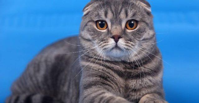Шотландская вислоухая кошка (скоттиш-фолд): история и описание породы, характер и содержание, питание и отзывы владельцев