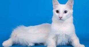 кошка породы турецкая ангора с разными глазами