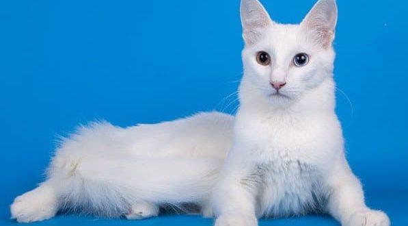 Турецкая ангора кошка. Описание, особенности, уход и цена турецкой ангоры
