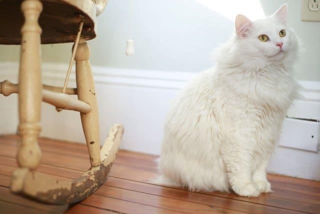 Порода ангора кошка