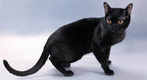 Бомбейская кошка фото и описание породы бомбей