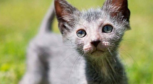 Неаллергичные породы кошек