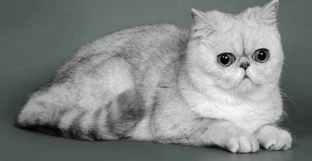 Породы кошек экзотические