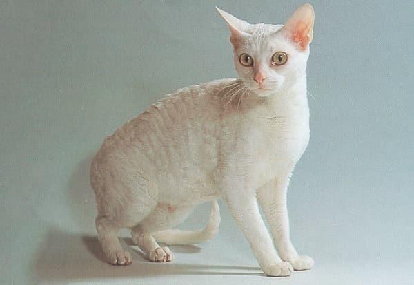 фото кошки герман рекс