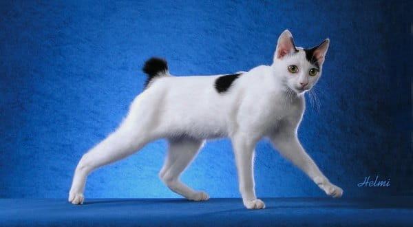 Японский бобтейл  кошка которая здоровается