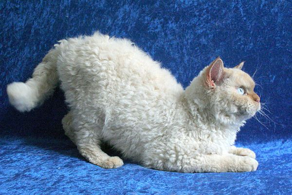 порода кудрявых кошек фото