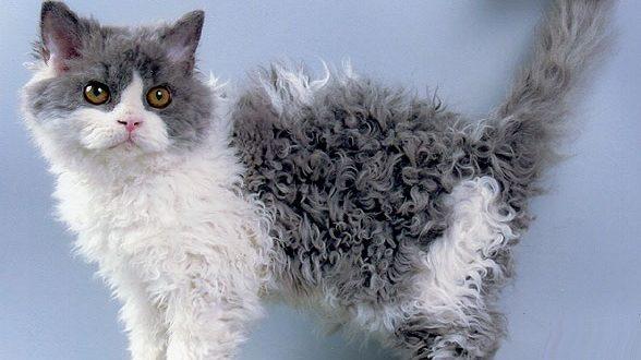 Селкирк рекс: фото кошки, цены, описание породы, характер, видео