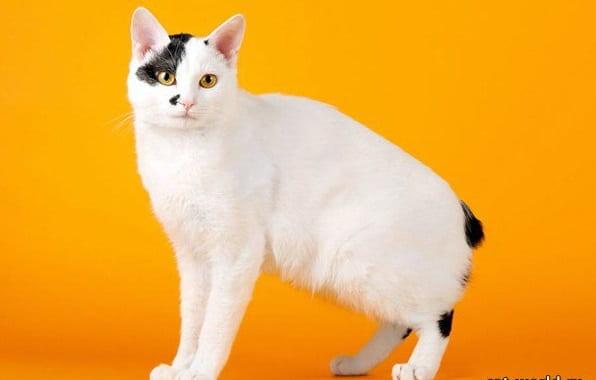 фото породы кошек японский бобтейл