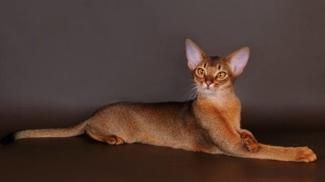 порода кошек абиссинцы