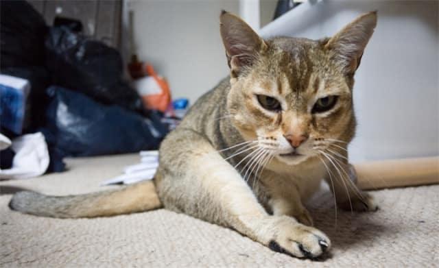 кошка азиатская табби