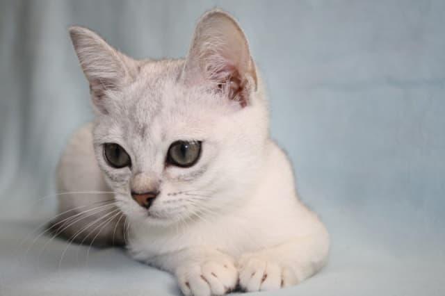 бурмилла котенок фото