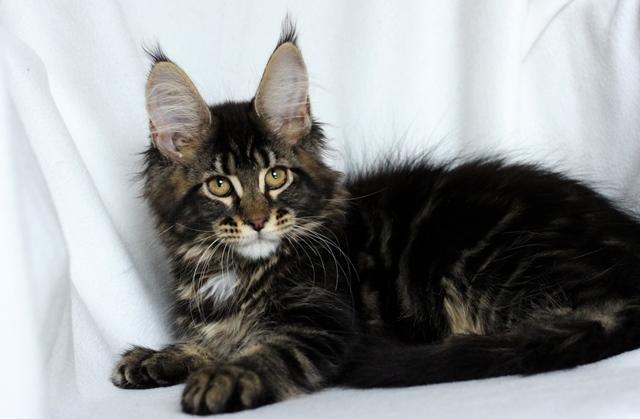 котенок мейн-куна фото