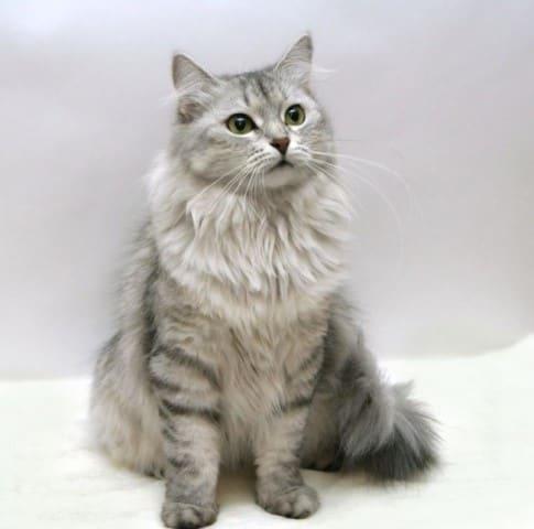 фото сибирской кошки пепельного цвета