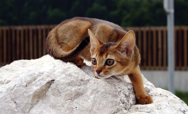 порода кошек абиссинци