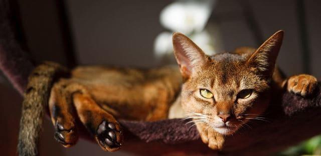 фото кошки абиссинца