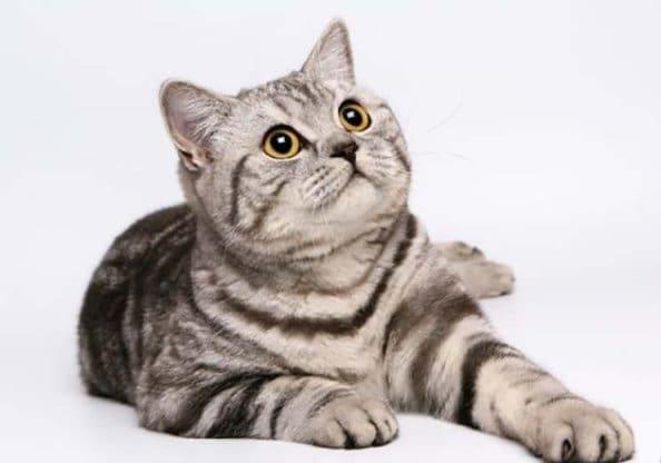 кот американский короткошерстный