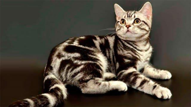 короткошерстная порода кошек фото