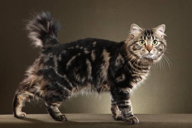 кошка породы американский бобтейл