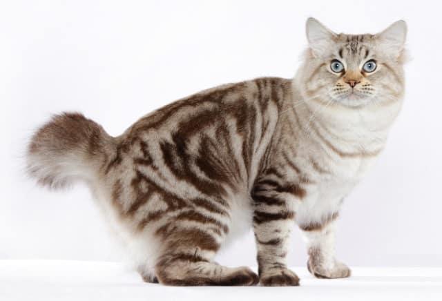 фото кошки бобтейла с красивым окрасом