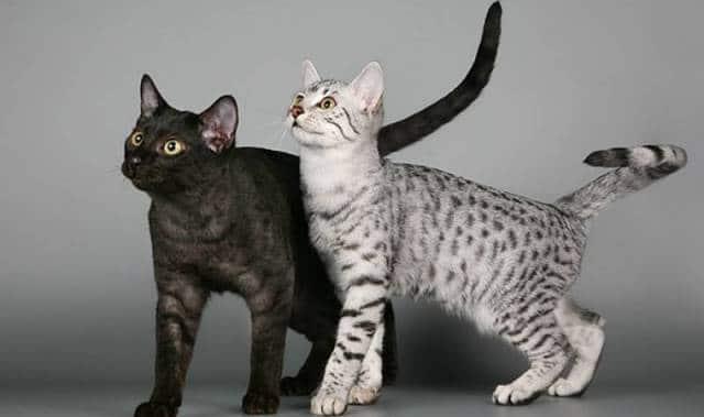 котята аравийского мау